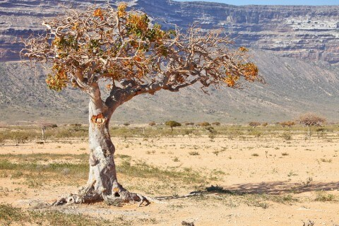 myrrh-tree-480x320.jpg